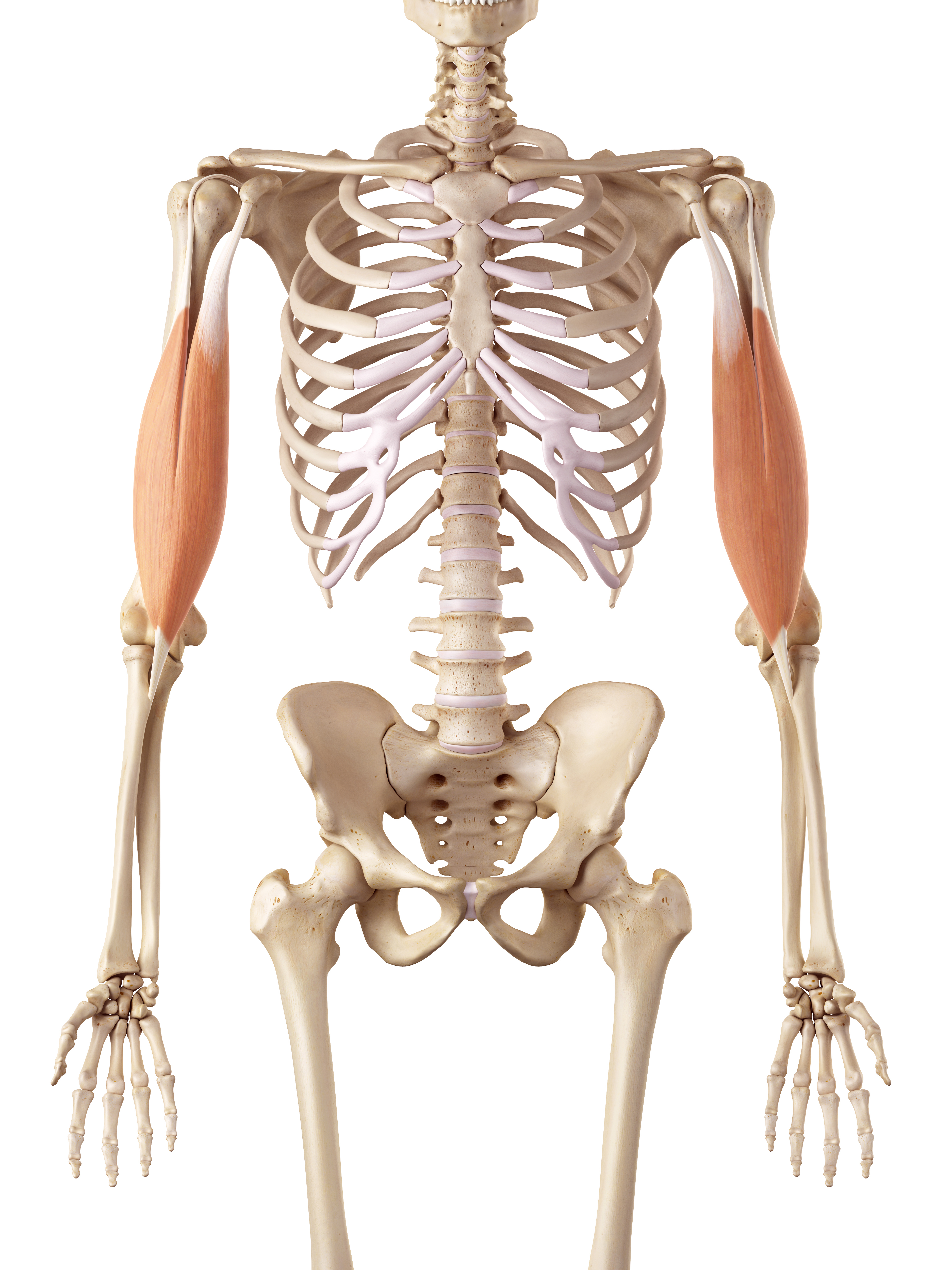 Muscle Anatomy For Coaches Macclesfield Strength And Conditioning