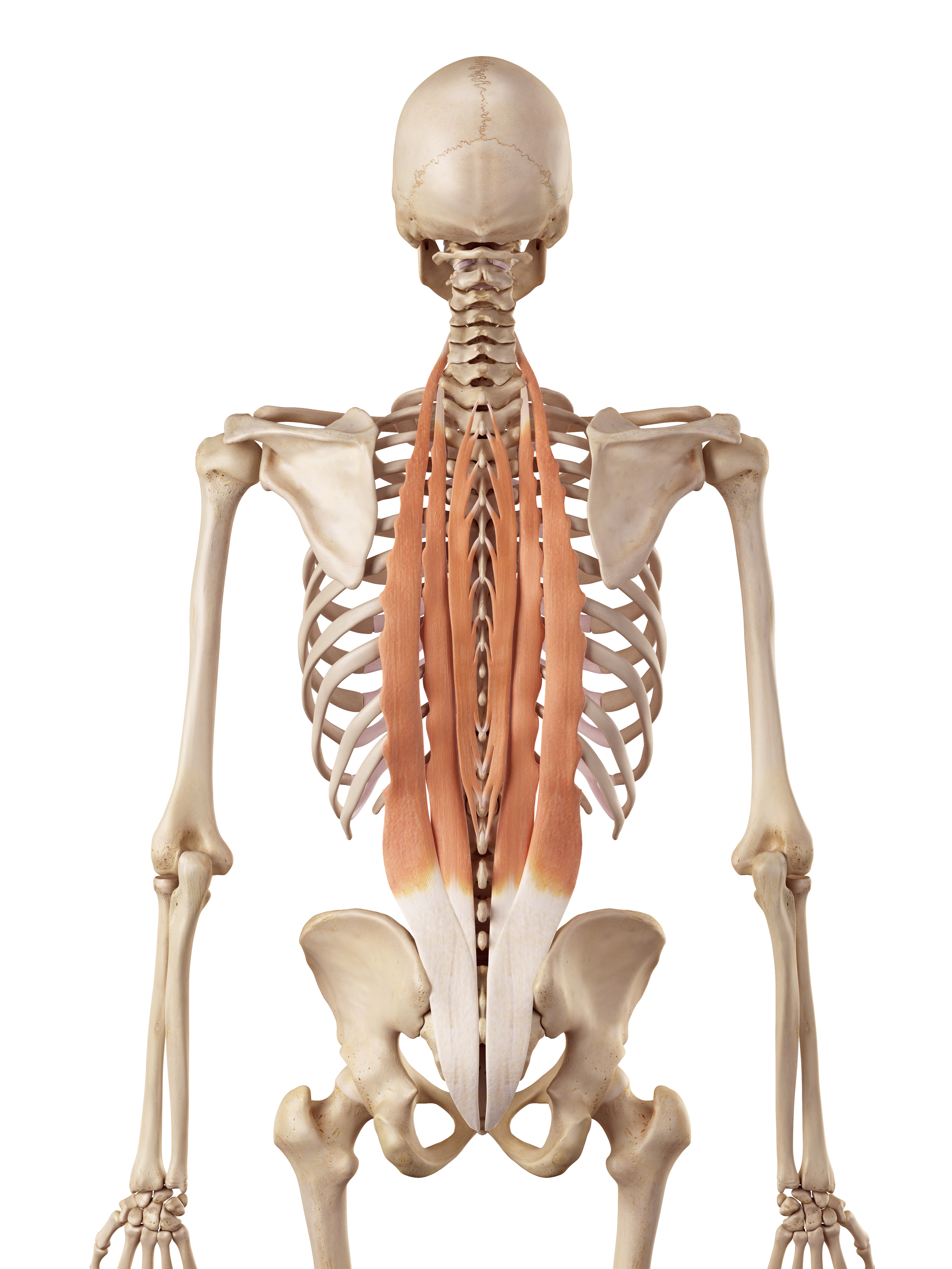Muscle Anatomy for Coaches – Macclesfield Strength and Conditioning